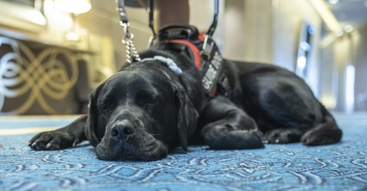 Nurdeniz Tunu00e7er's guide dog Kara rests after a long day.