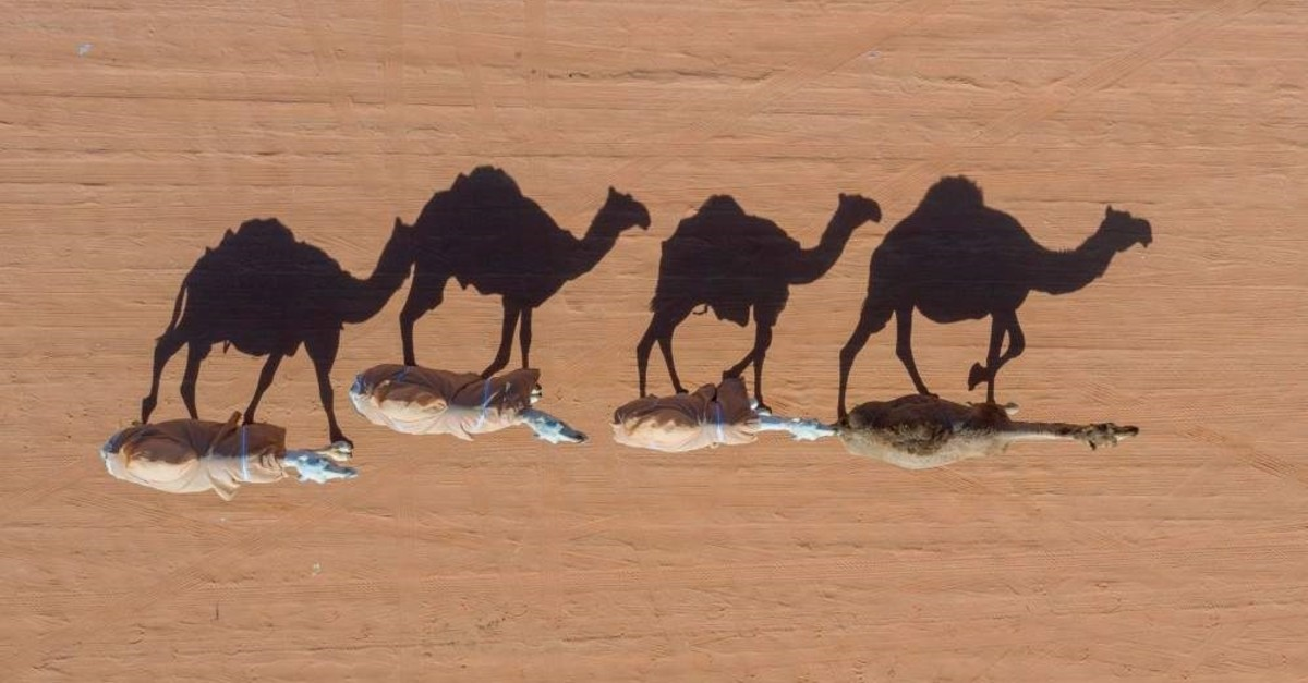 Camels are photographed by a drone in Rumah, some 160 kilometers east of Riyadh, on Jan. 7, 2020. (AFP Photo)