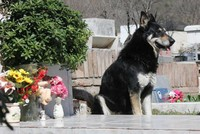 Loyal Argentine dog dies beside owner's grave after 12 years of waiting there for him