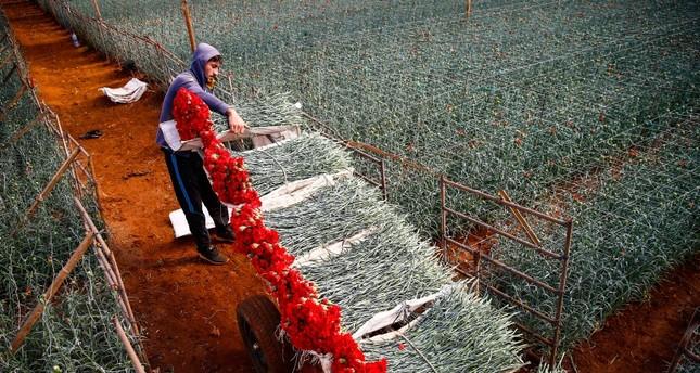 90% من زهور القرنفل المصدرة تنتج في ولاية أنطاليا الأناضول