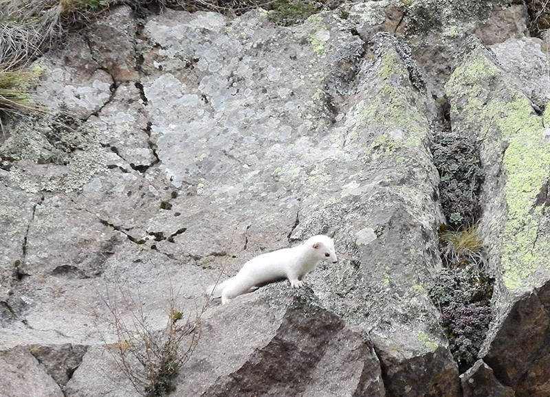 Turkish photographer snaps elusive ermine in northern Gümüşhane province