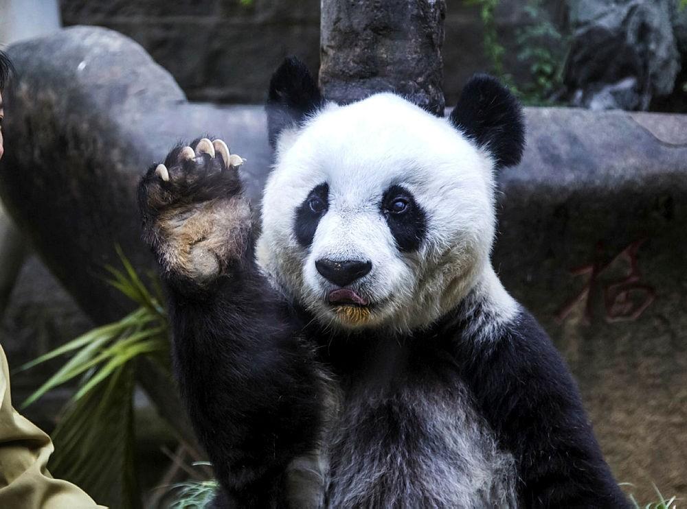 Basi the giant panda gestures during ceremonies to mark her 35th birthday at the Fuzhou Giant Panda Research Center in Fuzhou in southeastern China's Fujian province. (Chinatopix via AP)