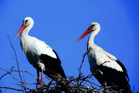 White storks nest in western Turkey's Bursa on annual migration