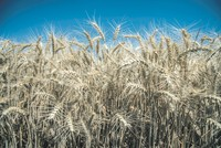 Siyez wheat: Ancient crop defies time, under protection with various projects in Turkey