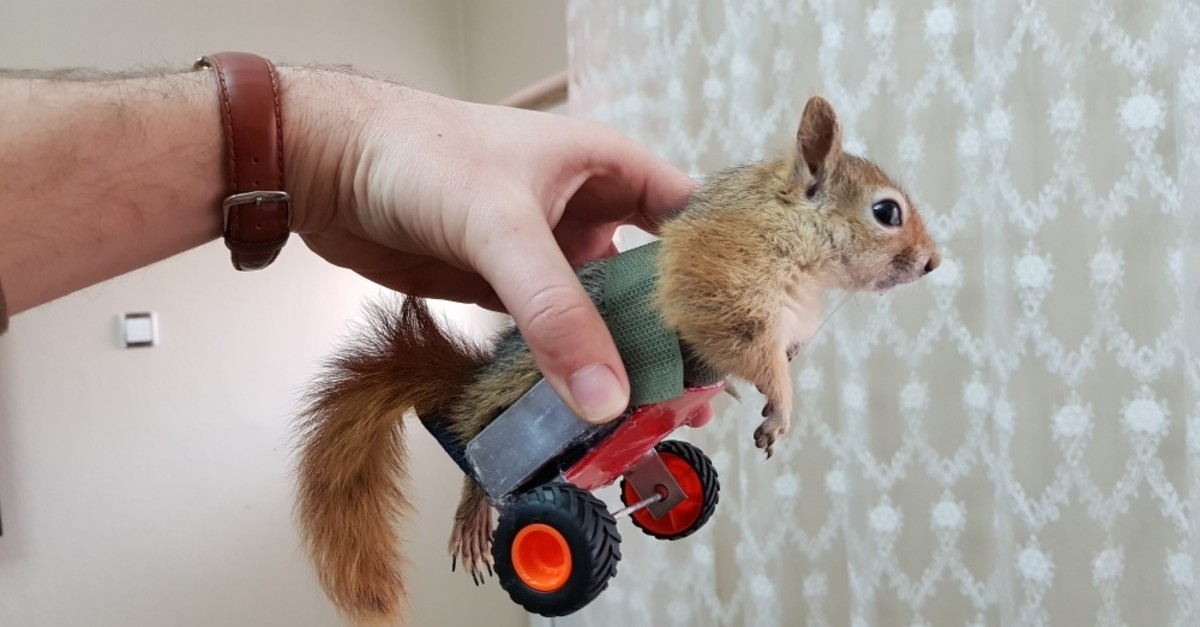 A paralyzed squirrel is hoped to walk on its own soon.