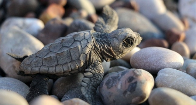 Mediterranean beach welcomed record number of baby loggerheads