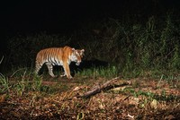 Conservationists on Tuesday hailed the discovery of a new breeding population of tigers in Thailand as a