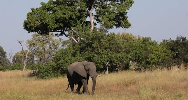 A young bull elephant is seen in the Okavango Delta, Botswana, April 25, 2018. Reuters Photo