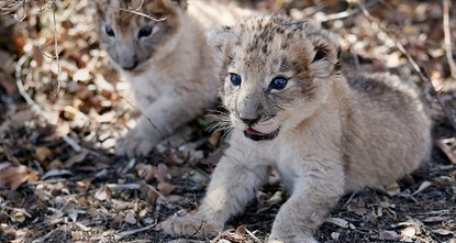 S. Africa welcomes world's first artificially-conceived lion cubs