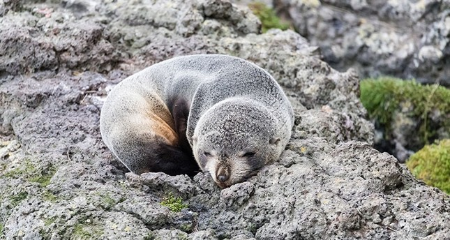 A young New Zealand fur seal. (iStock Photo)