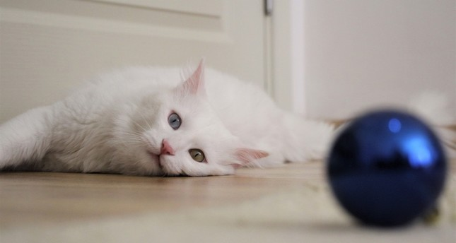 Sezar, the most beautiful Van cat, owes its fluffiness to good care