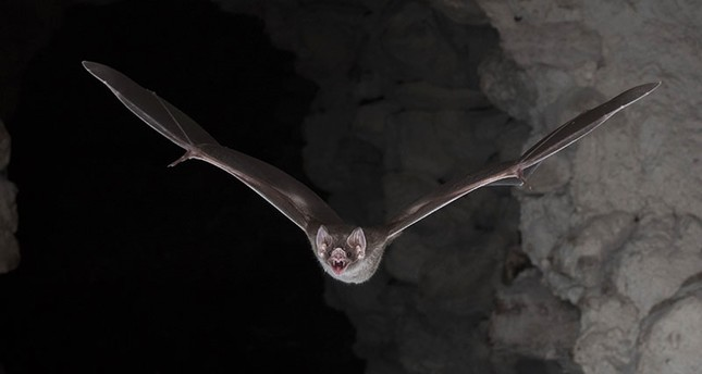 Vampire bat's blood diet developed through evolutionary genetics