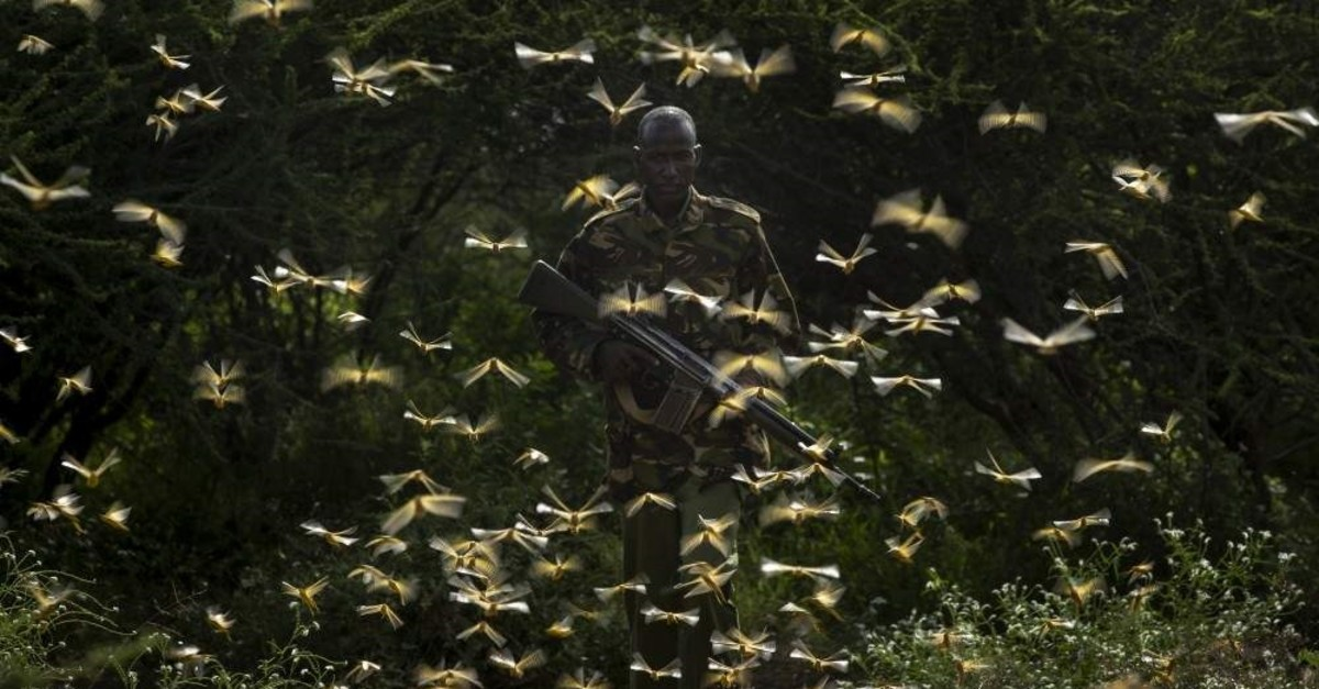 A ranger is surrounded by desert locusts as he and a ground team relay the coordinates of the swarm to a plane spraying pesticides, Nasuulu Conservancy, Feb. 1, 2020. (AP Photo)