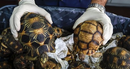 pCustoms agents in Malaysia stopped an attempt to smuggle hundreds of the world's most endangered tortoises into the country from Madagascar, a senior official said Monday./p