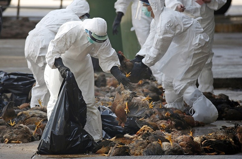 In this Wednesday, Dec. 31, 2014 file photo, health workers in full protective gear collect dead chickens killed by using carbon dioxide,  after bird flu was found in some birds at a wholesale poultry market in Hong Kong. (AP Photo)
