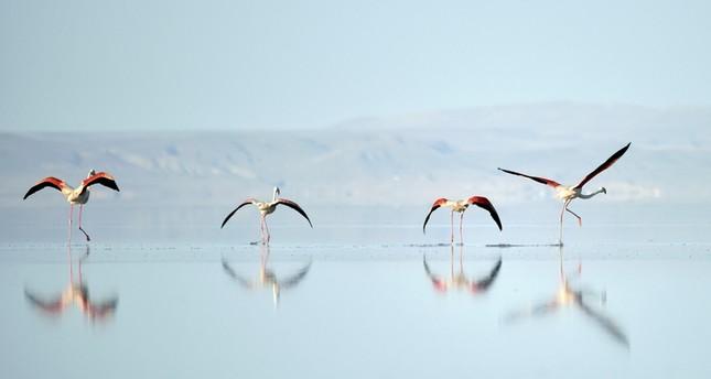 بحيرة الملح التركية.. جنة طيور الفلامنكو