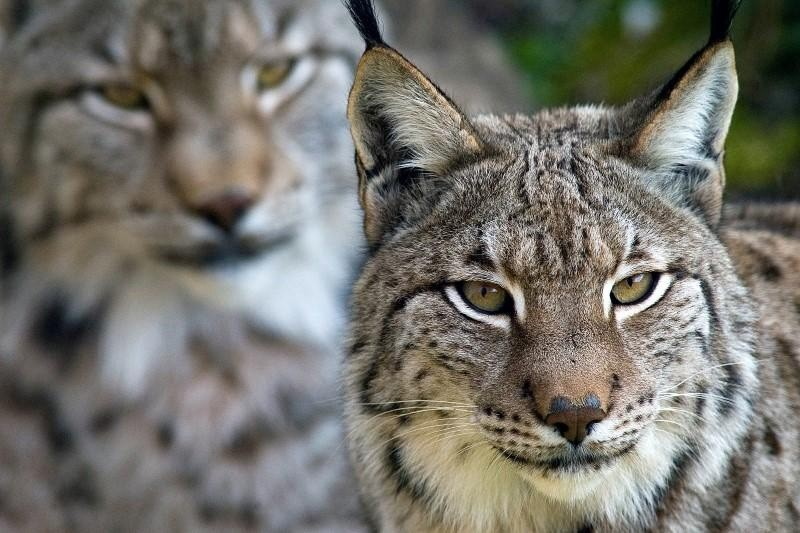 Two Iberian lynxs look out from their enclosure at a nature reserve in Cabarceno near Santander in northern Spain February 28, 2006. (Reuters Photo)