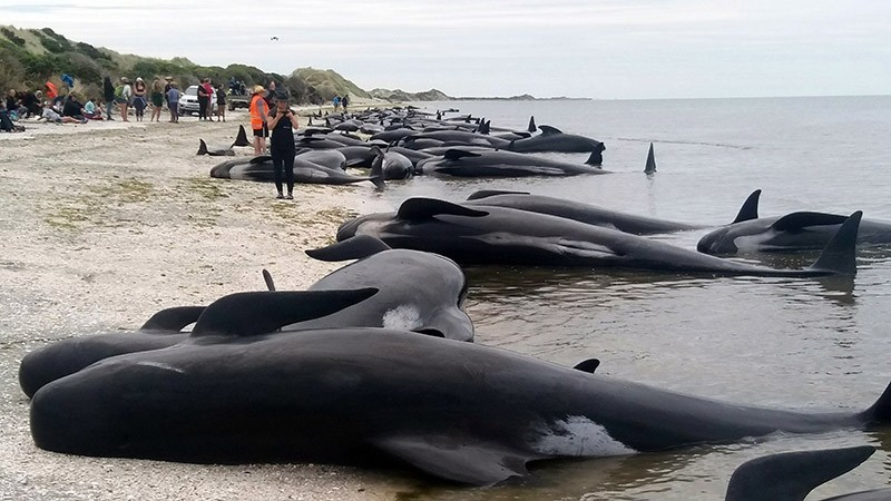 Whales are stranded at Farewell Spit near Nelson, New Zealand Friday, Feb. 10, 2017. (AP Photo)