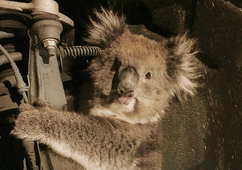 A koala sits trapped in the wheel well of a car after the wheel was removed to facilitate its rescue in Adelaide, South Australia, September 9, 2017 (Reuters Photo)