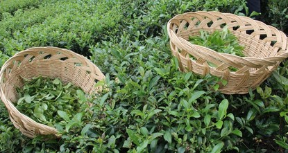 Turkish tea exported to 96 countries worldwide