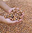 Hazelnut exports hit record high in 2 months