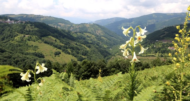 Endemic lily attracts photographers in Turkey