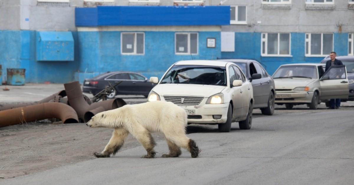A stray polar bear is seen in the industrial city of Norilsk, Russia June 17, 2019. (Irina Yarinskaya/Zapolyarnaya Pravda via Reuters)
