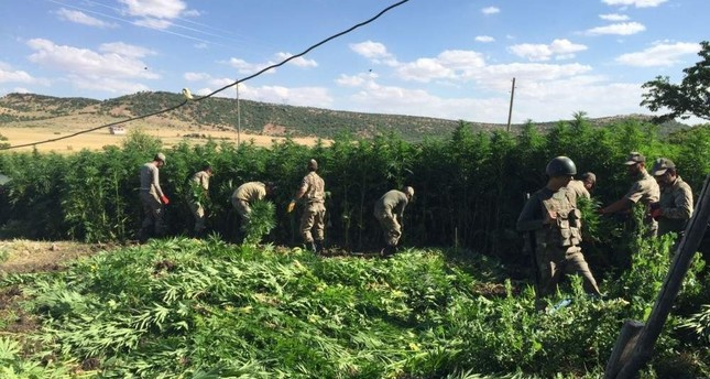 Soldiers collect cannabis plants for demolition after a counter-narcotics operation in this 2017 photo from southeastern province of Diyarbak?r AA Photo