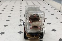 Rats trained to drive tiny cars find it relaxing