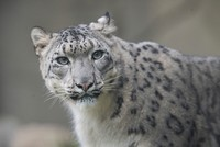 Snow leopards sighted for first time ever in eastern Tibet, report says