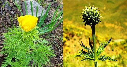 pA flower endemic to Turkey known as Adonis cyllenea was discovered for the first time in 150 years in northeastern Giresun province's Şebinkarahisar district./p