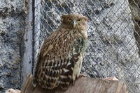 Endangered brown fish owl rescued in southern Turkey