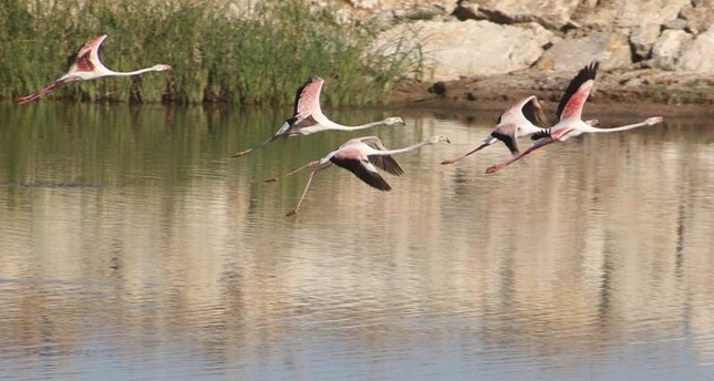 طيور الفلامنغو تلتقط أنفاسها على ضفاف بحيرة بي شهير التركية
