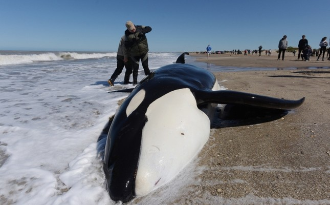 A man takes a picture of a stranded killer whale in Mar Chiquita, Buenos Aires province, Argentina on September 16, 2019.  AFP Photo