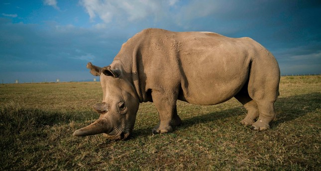 A handout image made available by the Ol Pejeta Conservancy shows a northern white female rhinos called Najin.