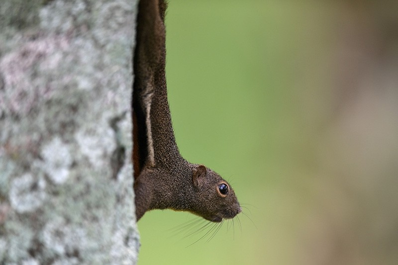 This file photo taken on October 12, 2017 shows a squirrel climbing a tree during the first round of the 2017 CIMB Classic golf tournament in Kuala Lumpur. (AFP Photo)