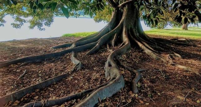 شجرة تين تساهم في كشف مكان تركي فُقد منذ عقود