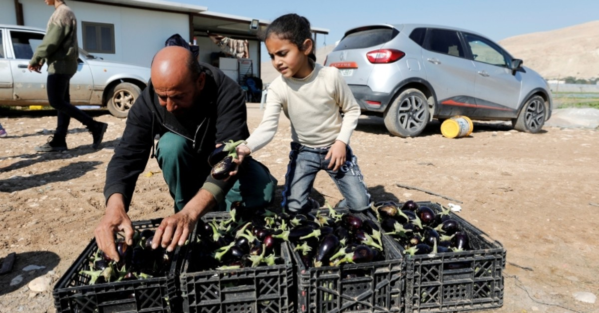 Palestinian farmer puts freshly picked eggplants in boxes at his farm in the village of Al-Jiftlik near Jericho in the Israeli-occupied West Bank, Feb. 5, 2020. (Reuters Photo)
