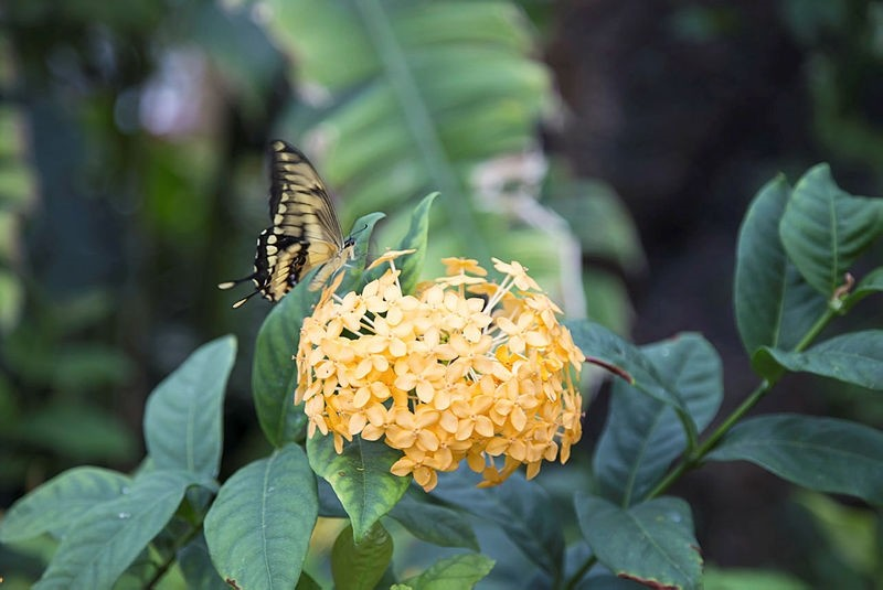 The Ixora Javanica is one plant that draws attention in the garden.