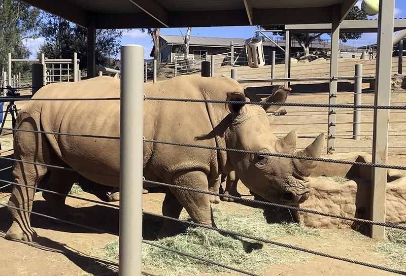 This photo shows Victoria, a pregnant southern white rhino Thursday, May 17, 2018, at the San Diego Zoo Safari Park in Escondido, Calif. (AP Photo)