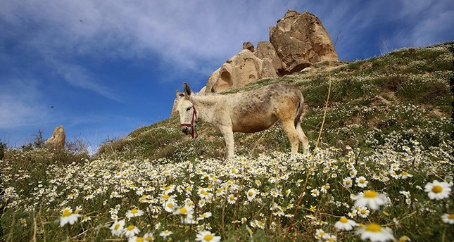 A donkey grazes in a field  near Cappadocia in Turkey's central Nevşehir province (AA Photo)