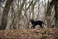 Arthur the dog snuffles truffles in Istranca Mountains