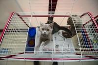 Rund 1000 Katzenliebhaber haben sich beworben, um die acht schottischen Katzen zu adoptieren, die am Donnerstag von den Flugbehörden in der Provinz Antalya beschlagnahmt wurden.  Den Berichten...