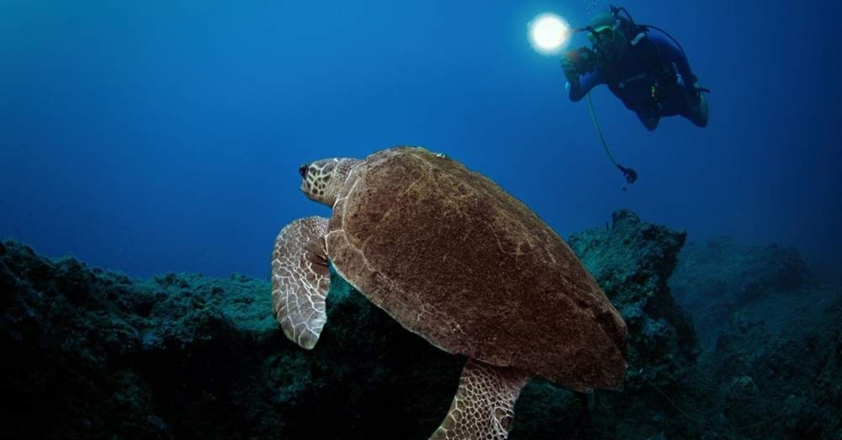 Loggerhead sea turtles are often seen at the beaches in Olympos and in the sea. (AA Photo)