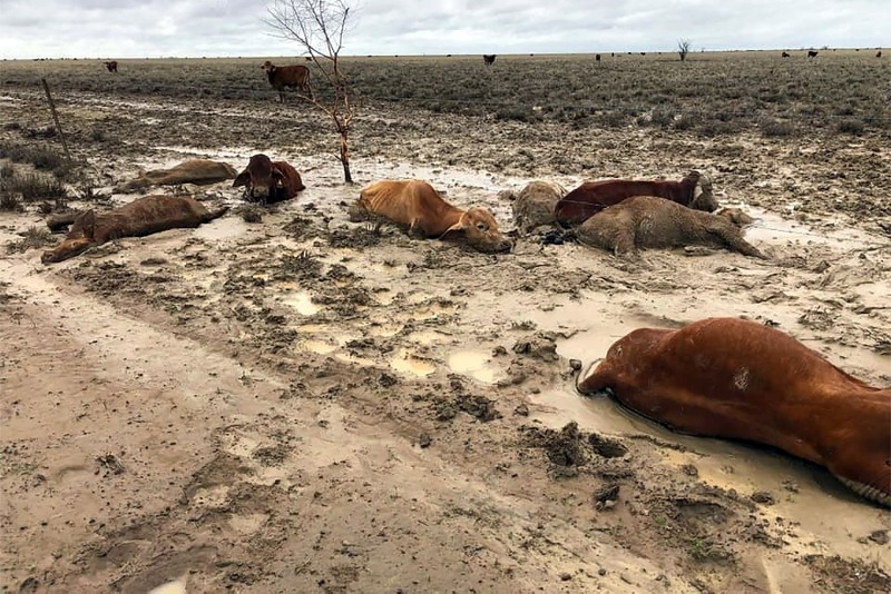 In this Feb. 7, 2019, photo cattle is seen in a flooded area near Julia Creek township in Queensland state, Australia. (AFP Photo/Anthony Anderson)