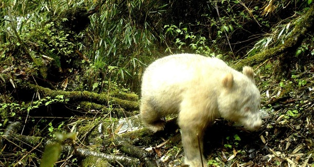 This handout photograph taken on April 20, 2019 and released by the Wolong National Nature Reserve on May 26, 2019 shows a rare all-white giant panda in Wenchuan County, southwest China's Sichuan province. (AFP Photo)