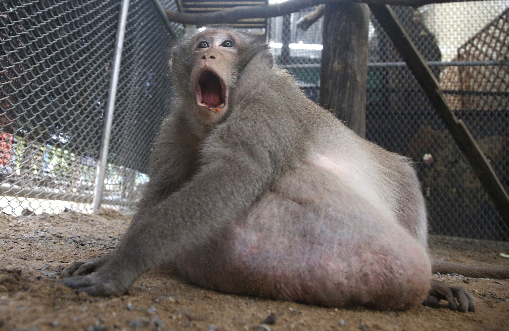A wild obese macaque named ,Uncle Fat,, who was rescued from a Bangkok suburb, sits in a rehabilitation center in Bangkok, Thailand, Friday, May 19, 2017. (AP Photo)