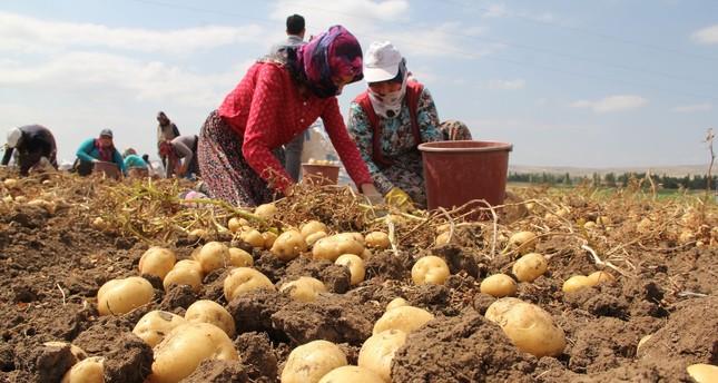 بدء حصاد الكنز الأصفر في جوروم التركية