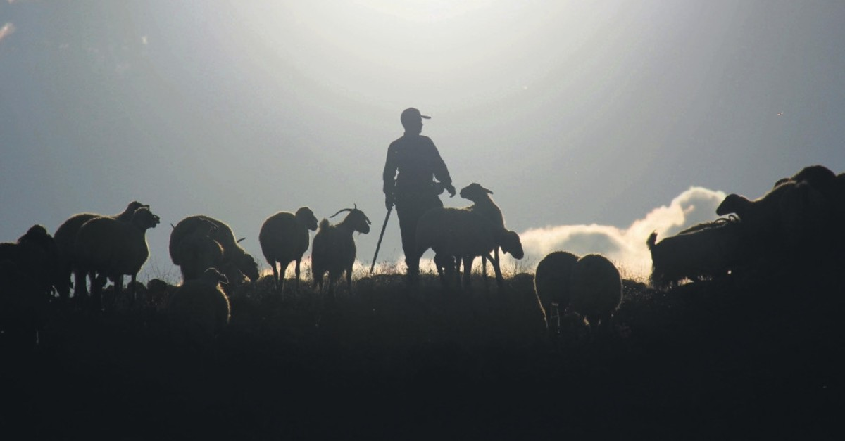 Nomads herd thousands of sheep and goats from the plateau to their village on foot.