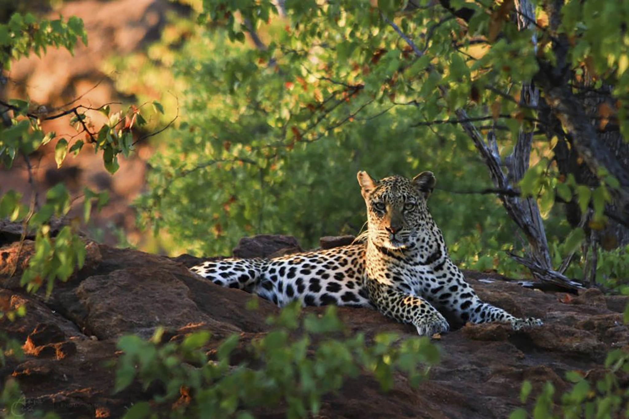 Illegal killing of leopards in the Soutpansberg Mountains has reduced their numbers by two-thirds in the last decade.